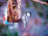 Mountain Chickadee PJ